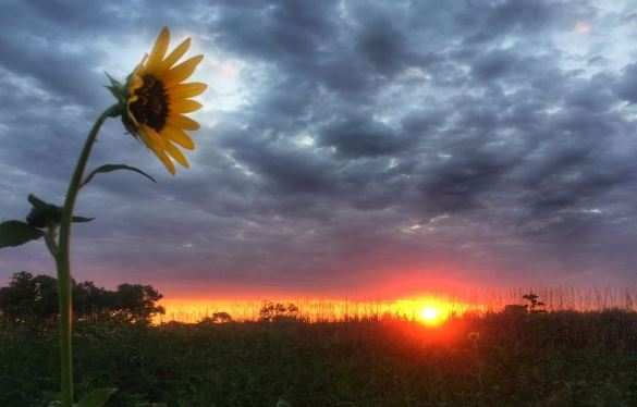 Sunflower by Meagan